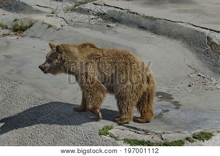 Brown bear out a turn about the lair, Sofia, Bulgaria