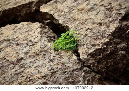 Bunch of clovers born amidst the cracks of a large rock