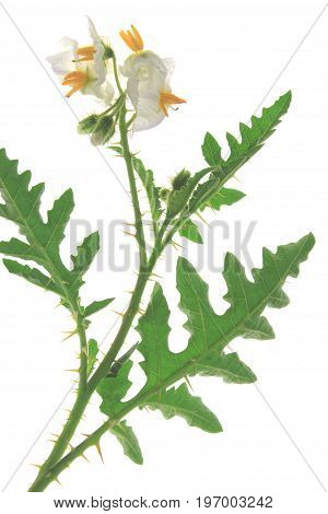 Solanum sisymbriifolium (common names: vila-vila sticky nightshade red buffalo-bur fire-and-ice plant litchi tomato) plant with blossoms isolated against white background