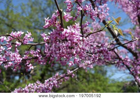 Branch Of Eastern Redbud Bush In Bloom