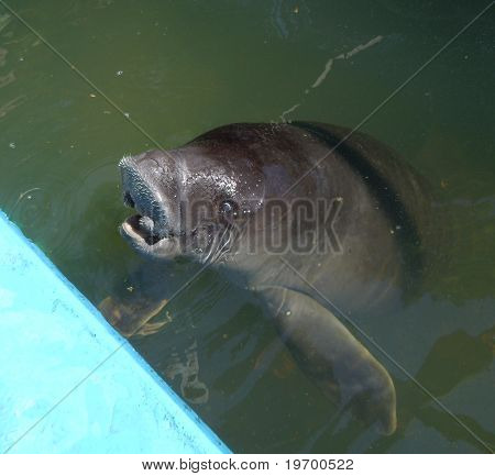 Manatee in a pond