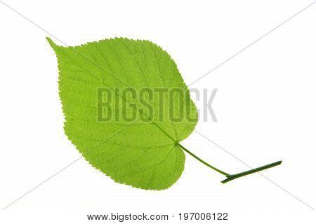 One single leaf isolated against white background (Tilia)