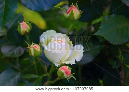 Rose Bush in the garden. Pink and white roses on the bushes. Landscaping. Caring for garden shrubs. Wallpaper for desktop, foto for calendar