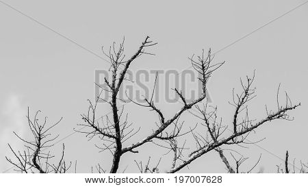 Black and white dead or die dry branch tree.