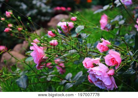 Pink and purple roses on the bushes. Rose Bush in the garden. Landscaping. Caring for garden shrubs. Wallpaper for desktop, foto for calendar