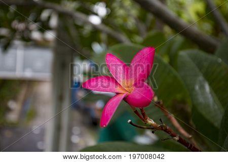 Plumeria on the plumeria tree, Frangipani tropical flowers.Vintage Filter Effect Pink plumeria on the plumeria tree with Sunset.Field grass