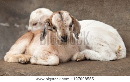 two little white goat on brown background