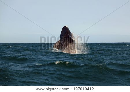Southern whale jumping over the water Hermanus South Africa