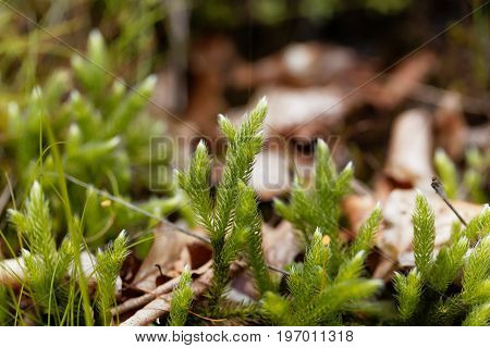 Plant of running clubmoss Lycopodium clavatum in a forest.