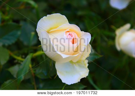Rose Bush in the garden. Yellow and white roses on the bushes. Landscaping. Caring for garden shrubs. Wallpaper for desktop, foto for calendar