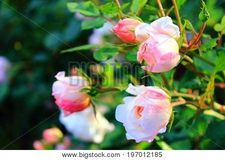 Bouquet of pale pink roses on the sun. Rose Bush in the garden. Pink and white roses on the bushes. Landscaping. Caring for garden shrubs. Wallpaper for desktop, foto for calendar
