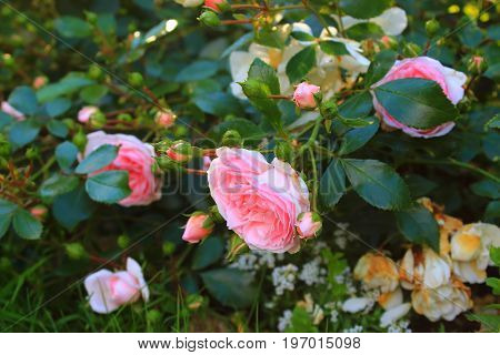 Rose Bush in the garden. Pink and red roses on the bushes. Landscaping. Caring for garden shrubs. Wallpaper for desktop, foto for calendar