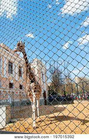 Moscow, Russia- May 01: Giraffe in a cage in Moscow zoo on May 01, 2017. Moscow Zoo is the first zoo in Russia founded in 1864 by Russian Imperial Society of Acclimatization of animals and plants.