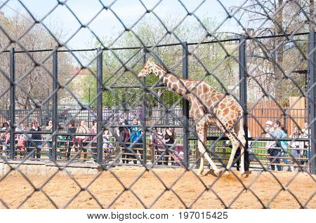Moscow Russia- May 01: Crowd of people look ot Giraffe in Moscow zoo on May 01 2017. Moscow Zoo was founded in 1864 by Russian Imperial Society of Acclimatization of animals and plants.
