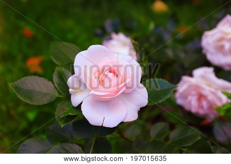Gorgeous pale pink rose on the bush. Pale pink roses love. Soft Pink Rose in the garden. Landscaping. Caring for garden roses shrubs. Wallpaper for desktop, for calendar