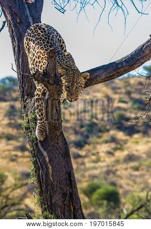 African spotted leopard after feeding. A satisfied and contented leopard resting on a tree. The concept of exotic and extreme tourism. Travel to Namibia
