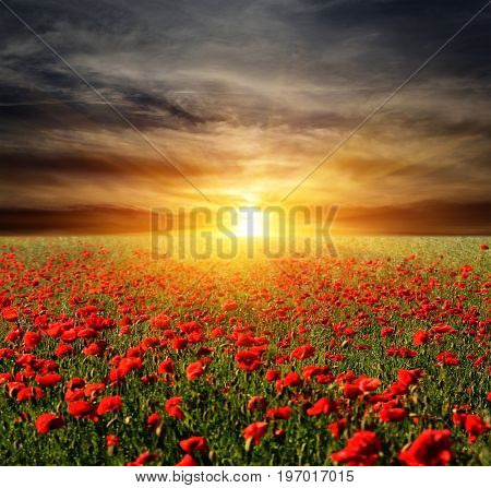 Nice sunset scene over poppy meadow