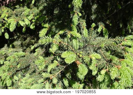 Light Green Young Needles And Dark Green Old Needles Of Spruce