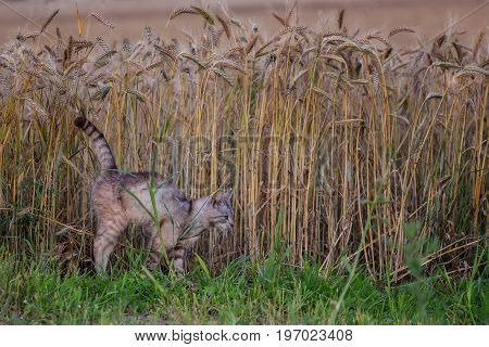 Vigilant cat with arched spine hunting mice at wheat field in summer evening
