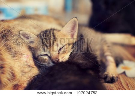 Cute cat is sleeping on the mother cat's belly and happily. selective focus.