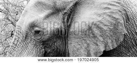Detailed black and white crop of an elephant's head concentrating on the area of the eyes