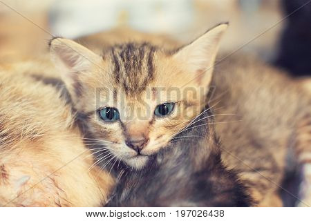 Cute kitten with blue eyes staring at her. selective focus.