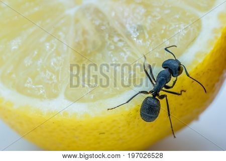 Close Up View Of An Ant Crawling On A Lemon
