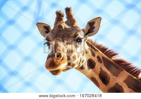 Close up head of giraffe against blue sky background