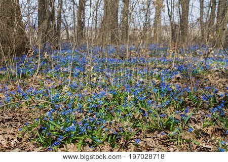 Glade of blue flowering scilla in the forest