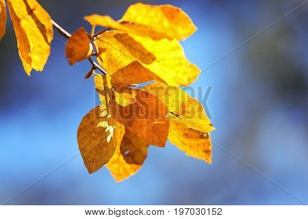 Autumn yellow leaves of aspen. Autumn time. Blue sky