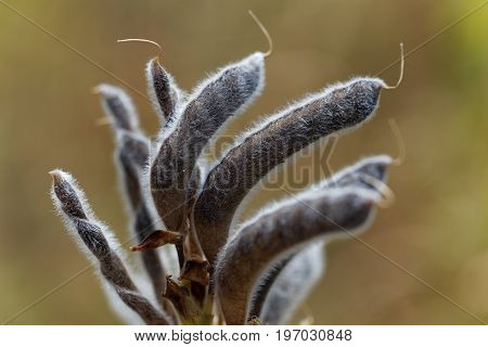 Seeds of a narrow leaved lupin Lupinus angustifolius.