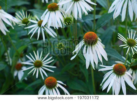 white flowers echinacea purpurea bloom fresh herbal medicinal plant summer floral blossom