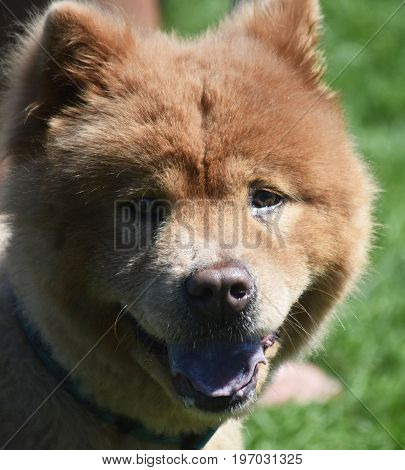 Adorable Purebred Chow that is a Hunting Dog