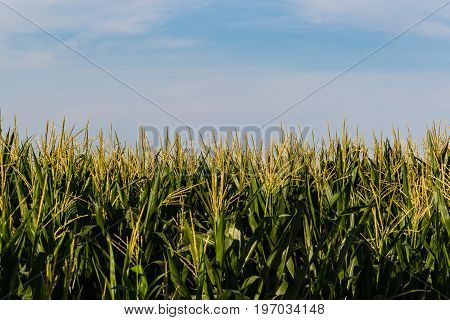 the top of the cornfield and the midwestern sky