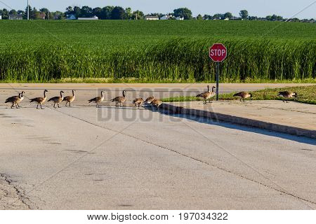 gaggle of geese crossing the street in single file