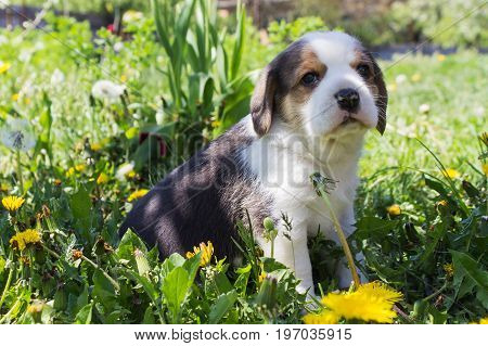 Beautiful purebred puppy sitting in the grass. Portrait of a young Beagle breed