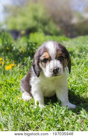 Little Puppy Beagle sitting in grass bright sunny day. Vertical photo