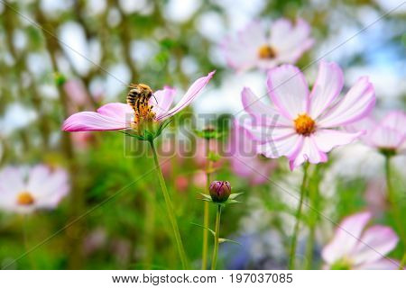 Pink cosmea flower with a bee on it in summer garden.