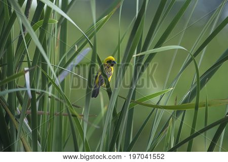 Asian Golden Weaver : Beautiful Bird Perching On Green Leaf