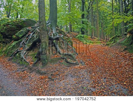 Mysterious Autumn Foggy Colorful Forest With Twisted Roots And Big Stones Covered Moss