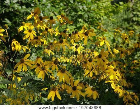 Wide shot of Black-eyed susan flowers in a garden