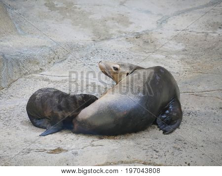 A newborn sea lion nursing from its mother on a rock