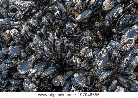Barnacles and Mussels on Rocks in Tidepool at Low Tide