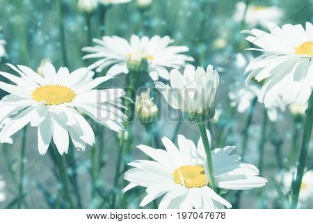 Blue tinted background with daisies flower closeup.