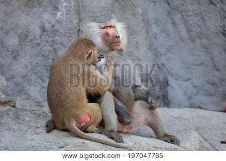 Hamadryas baboon (Papio hamadryas). Wild life animal.