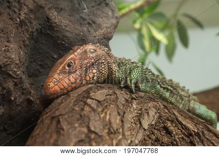 Northern caiman lizard (Dracaena guianensis).