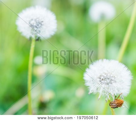Macro View Of A Two White Dandelion Flowers Against A Grassy Background And Hairy Brown Bug