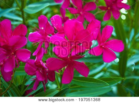 The beautiful blooming red flower - oleander. Beautiful oleander flowers growing in the garden on sunny summer day.