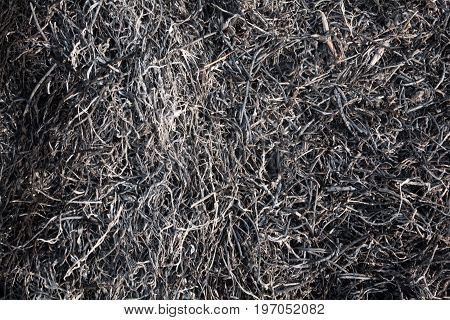 Burnt grass in the field after the big fire. Close-up.