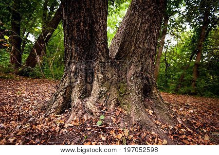 Trunk Of Strong Tree.